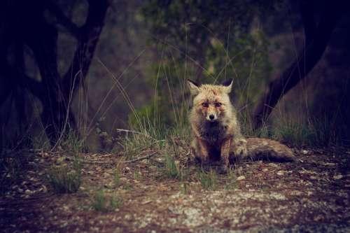 Fox Animal Wild Woods