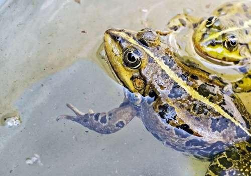 Frog Water Frog Animal Green Water Close Up