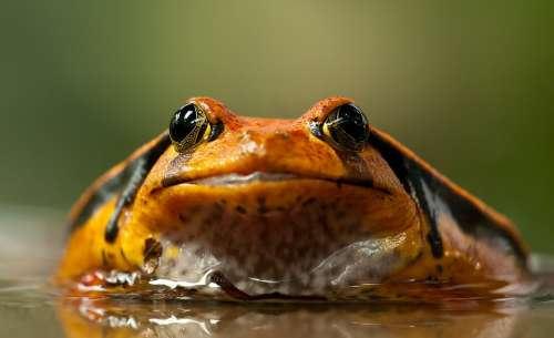 Frog Toad Eyes Animal Anuran Amphibian Terrarium