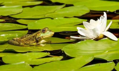 Frog Water Frog Frog Pond Animal Green Green Frog