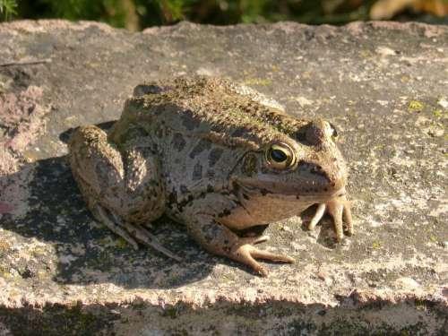 Frog Shore Raft Batrachian Amphibious