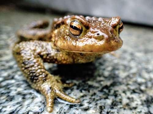 Frog Amphibian Nature Animal Brown