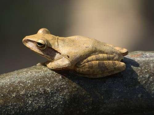 Frog Garden Thailand Animal Amphibian
