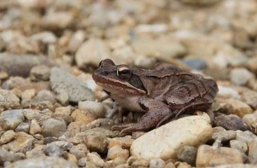 Frog Amphibian Animals Stream Bank Small Stones