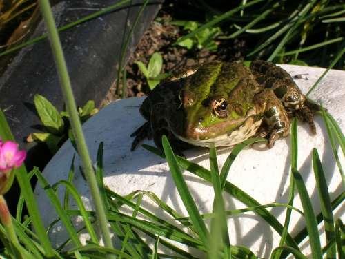 Frog Pond Garden Water Green Water Frog