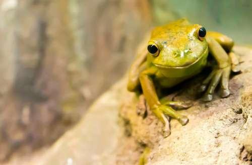 Frog Amphibian Wildlife Green Animal Face Rock
