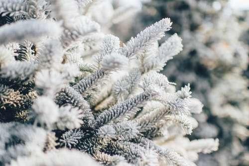 Frosty Pine Tree Snow Winter Pine Nature Tree