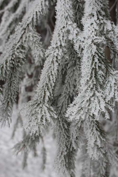 Frosty Tree Winter Nature Cold Frost Ice Icy