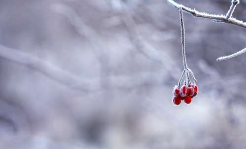 Frozen Berries Red Fruits White Snowy Branches