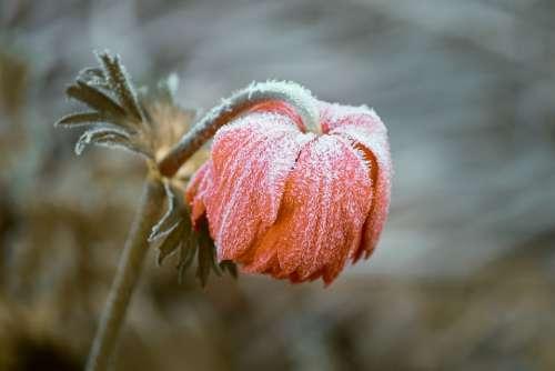 Frozen Blossom Bloom Ripe Head Depend Ice Winter