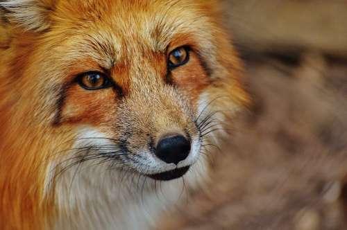 Fuchs Wildpark Poing Animal Nature Animal World