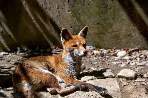 Fuchs Animal Mammal Wild Zoo Fur Animal World