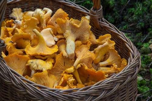 Fungus Mushroom Sponge Basket Chanterelle Mushrooms