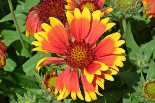 Gailardia Nadobna Flower Two-Tone Orange Garden