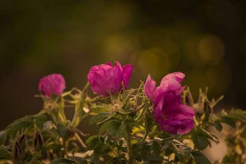 Garden Rose Rose Red Summer Blossom Bloom Plant
