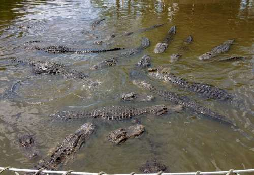 Gatorland Alligators Alligator Orlando Florida