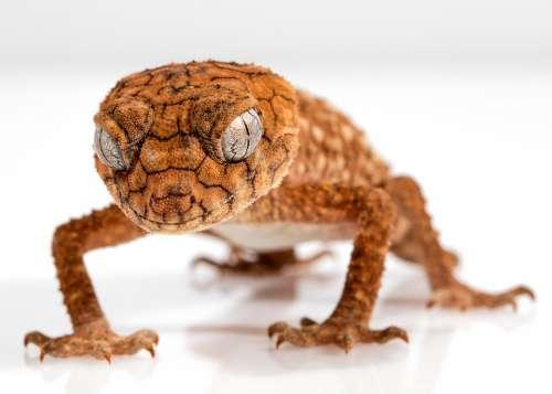 Gecko Rough Knob Centralian Lizard Animal