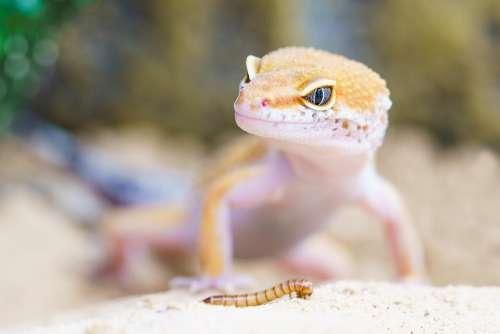 Gecko Reptile Terrarium Lizard Scale Macro