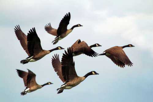 Geese Birds Flock Wildlife Flying Formation