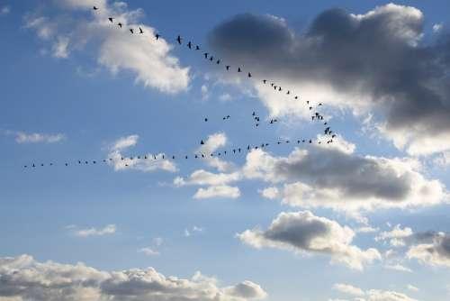Geese Goose Bird Animal Birds Group Poultry
