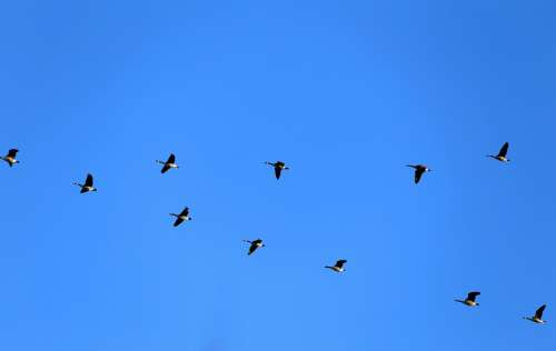 Geese Canada Geese Fly Birds Dash Blue Himmel