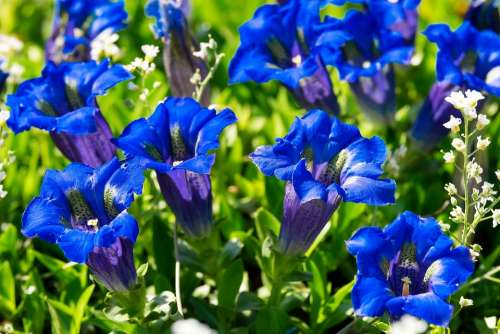 Gentian Flower Blossom Bloom Blue Dark Blue