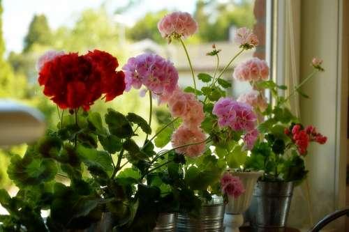 Geranium Flower Spring Window Red Pink Plant