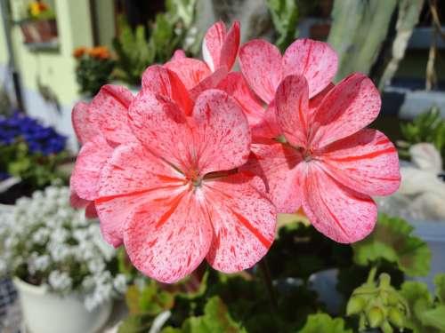 Geranium Flower Nature Plant Flowers Summer