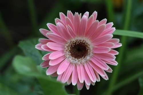 Gerbera Flower Pink Bloom Petals Flora Bright
