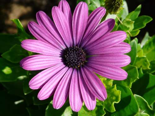 Gerbera Flowers Plant Summer Purple Cut Flowers