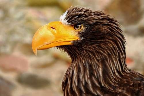 Giant Eagle Adler Bird Raptor Bird Of Prey Animal
