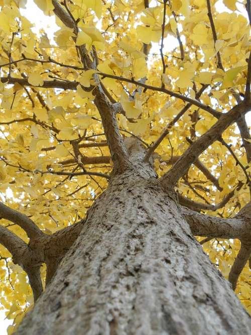 Gingko Tree Yellow Leaves Autumn