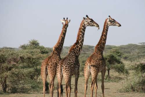Giraffe Africa Tanzania Wild Savannah Animal