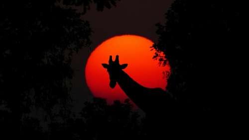 Giraffe Animal Africa Sunset Nature Wilderness