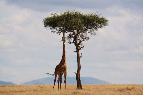 Giraffe Kenya Africa Wildlife Safari Neck Tall