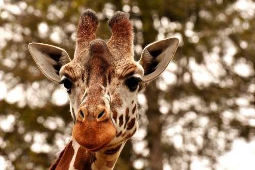 Giraffe Zoo Animal Animal Portrait Wild Animal