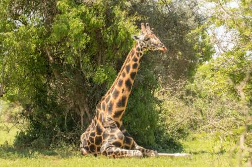 Giraffe Safari Animal Wildlife Nature
