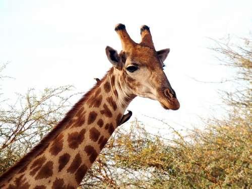 Giraffe Giraffa Camelopardalis Ungulate Neck Size