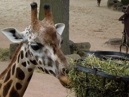 Giraffe Animal Feeding Close Up