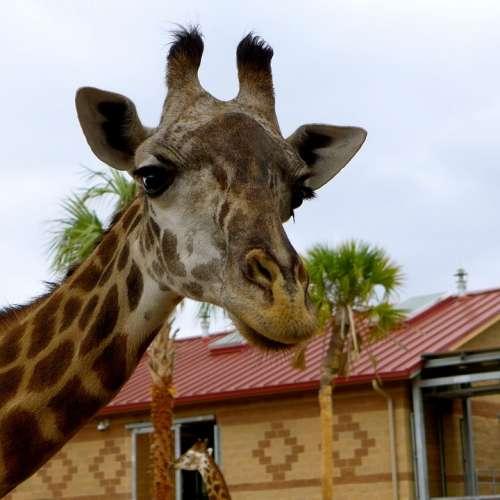 Giraffe Zoo Animals