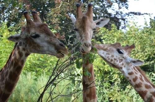 Giraffe Hungry Leaf Zoo Animal Head