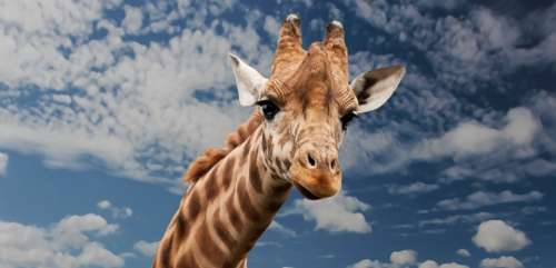 Giraffe Animal Facial Expression Mimic Neck Mammal