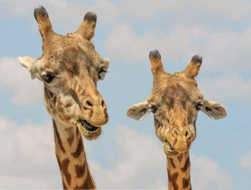 Giraffe Animals Zoo Funny Fauna Mammal Wildlife