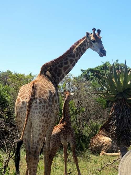 Giraffes Baby Giraffe Africa Nature Mammal Safari