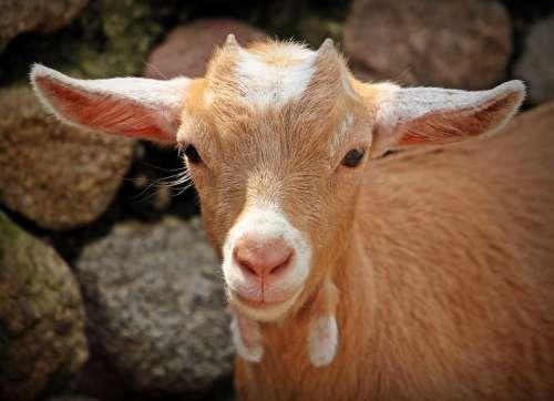 Goat Animal Horns Mammals Creature Kid Nature