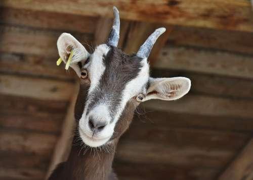 Goat Livestock Farm Horns Domestic Goat Horned