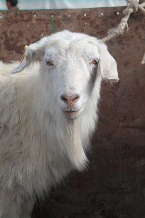 Goat Farm Animal Domestic Goat Agriculture