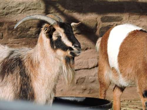Goat Animals Eyes Nature Horns Mammals Farm