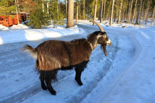 Goat Claus Mammal Winter The Horns Snow Frost
