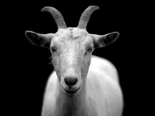 Goat Animal Horns Black And White